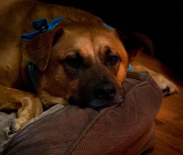 Dog In Bed My Dog Dogphotographer Dog Photographs Brown Dog At Peace Potcake My Pet Dog Canine Domestic Pets Domestic Animals One Animal Mammal Relaxation No People Indoors  Animal Themes Comfortable Resting Animal Close-up