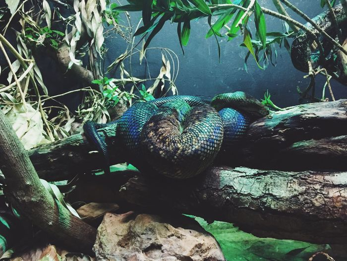 Blue green sleeping snake. Animal Themes Animal In Captivity Zoo Sleeping Asleep Scales Blue Green Tinge Of Green One Animal Nature Green Color Plant No People Outdoors Beauty In Nature Water Day Branch