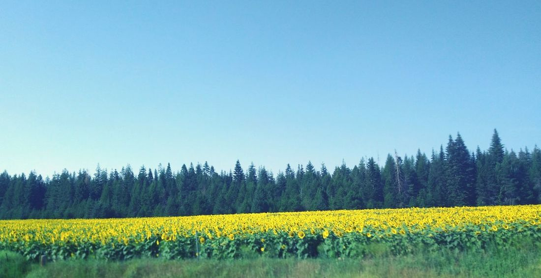 Sunflower Flower Clear Sky Rural Scene Yellow Agriculture Field Blue Crop  Sky Cultivated Land Farmland In Bloom Farm Countryside Tranquil Scene Blossom Plowed Field Cultivated Agricultural Field Patchwork Landscape Blooming Plant Life