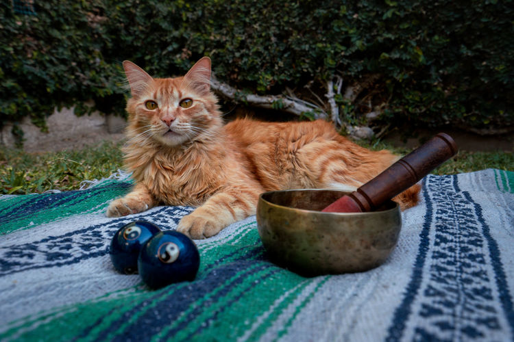 Portrait of a cat and tibetan singing bowl