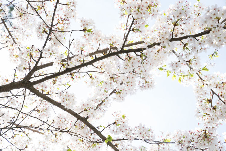 Tree Flowering Plant Plant Flower Blossom Fragility Beauty In Nature Springtime Branch Vulnerability  Growth Freshness Cherry Blossom White Color Nature Low Angle View Day Cherry Tree No People Fruit Tree Outdoors Flower Head Bright Spring