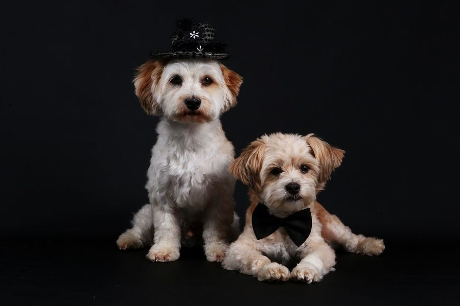 two small dogs in the studio with decoration FUNNY ANIMALS Fly Hat Maltese Dog Animal Themes Black Background Cute Cylinder Decoration Dog Domestic Animals Friendship Havanese Havaneser Indoors  Looking At Camera Maltese Malteser Mammal No People Pets Portrait Sitting Studio Shot Togetherness