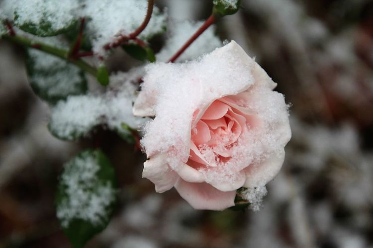 Beauty In Nature Plant Flower Close-up Fragility Vulnerability  Winter Rose - Flower Pink Color Outdoors Rosé Nature Cold Temperature