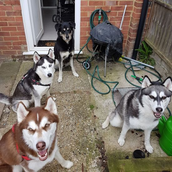 Husky party Husky Huskador Siberian Husky Luna Cuda Mako Elwood Samsungphotography Domestic Animals Dog Pets Animal Themes Huskies