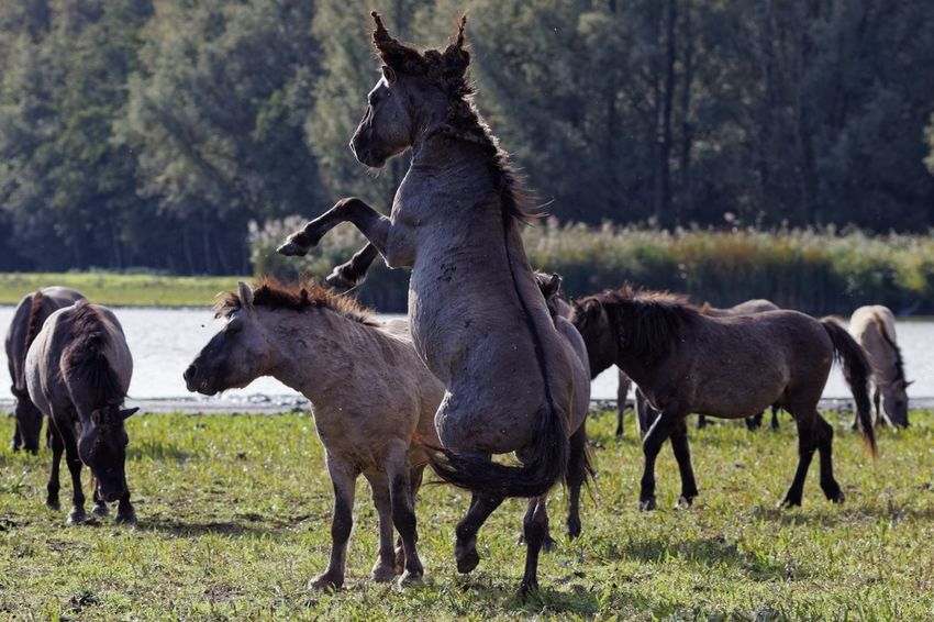 Playing Konik Horses Group Of Animals Animal Mammal Animal Themes Domestic Animals Livestock Animal Wildlife Animals In The Wild
