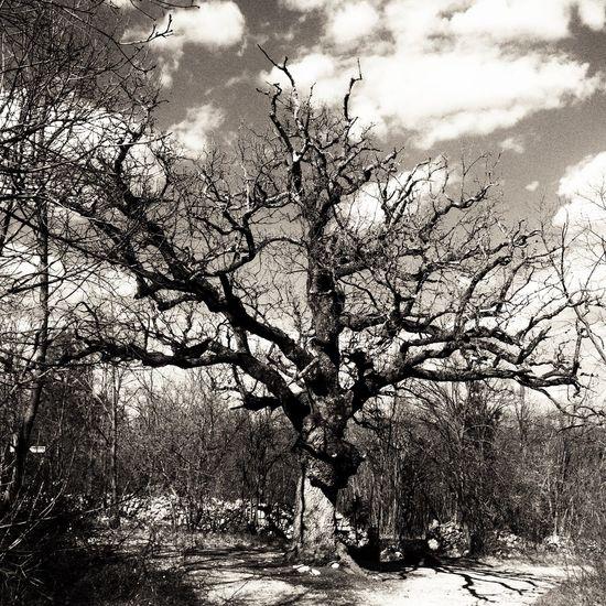 """The so called """"Napoleon oak"""" IPS2015BW Carso IPS2015Trees"""