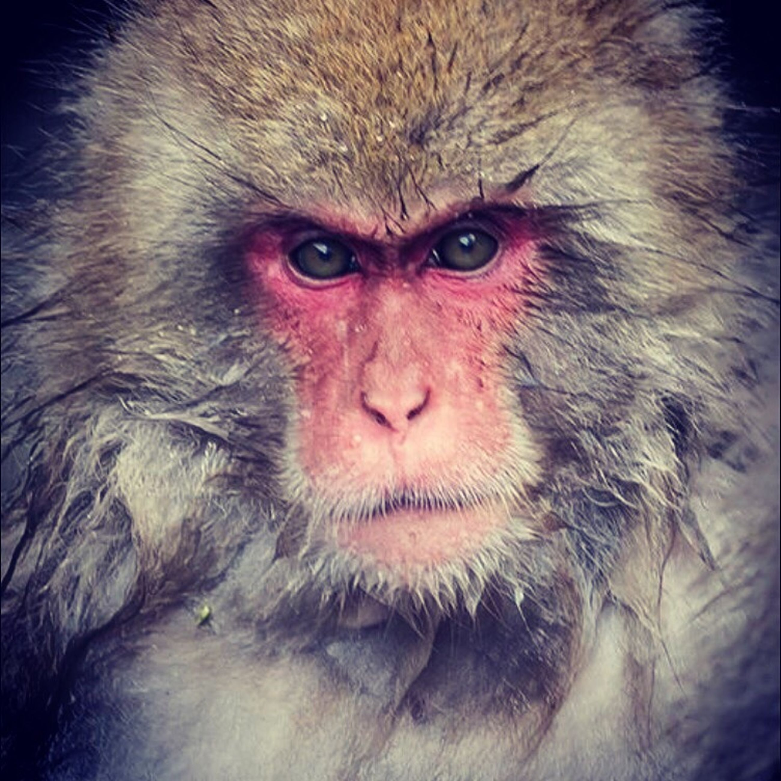 animal themes, one animal, portrait, wildlife, animal head, close-up, looking at camera, animal hair, animals in the wild, mammal, domestic animals, pets, animal body part, monkey, animal eye, front view, zoology, red, primate