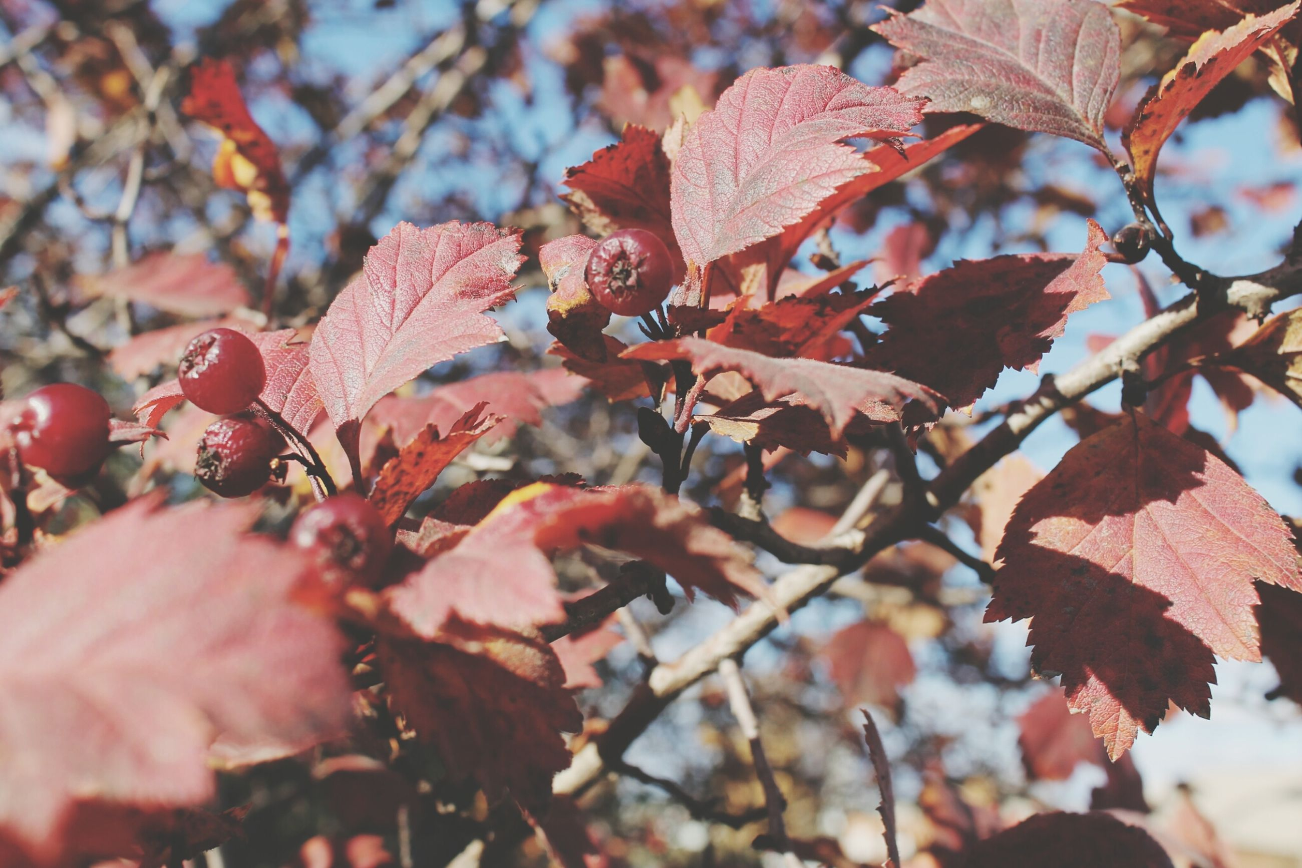 leaf, autumn, branch, tree, season, change, leaves, nature, growth, focus on foreground, close-up, beauty in nature, low angle view, tranquility, selective focus, leaf vein, outdoors, day, maple leaf, twig