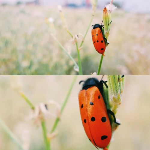 Insect Animal Themes Focus On Foreground Close-up Animals In The Wild Orange Color Animal Wildlife Butterfly - Insect Nature One Animal No People Outdoors Beetle Day Ladybug Beauty In Nature Perching