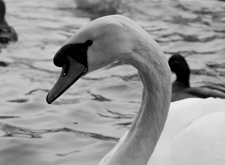 Animal Neck Animal Themes Animals In The Wild B&w B&W Magic Beak Bird Black And White Close-up Day Focus On Foreground Lake Nature No People One Animal Outdoors Swan Swimming Water EyeEmNewHere EyeEm Best Edits EyeEm Abstract Photography Lieblingsteil Welcome To Black