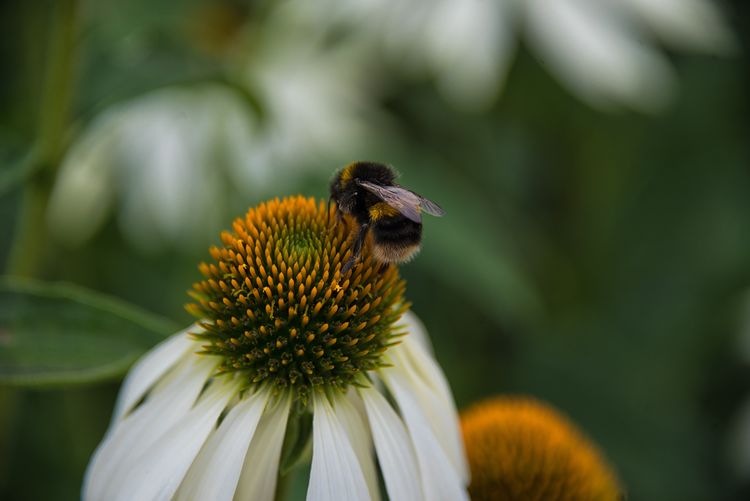 Close-Up Of Bumblebee On Cone Coneflower
