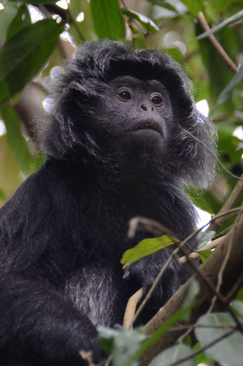 The Java Lutung Java Lutung Animal Animal Themes Animal Wildlife Animals In The Wild Close-up Day Forest Looking Low Angle View Lutung Mammal Monkey Nature No People One Animal Outdoors Plant Portrait Primate Tree Vertebrate Young Animal