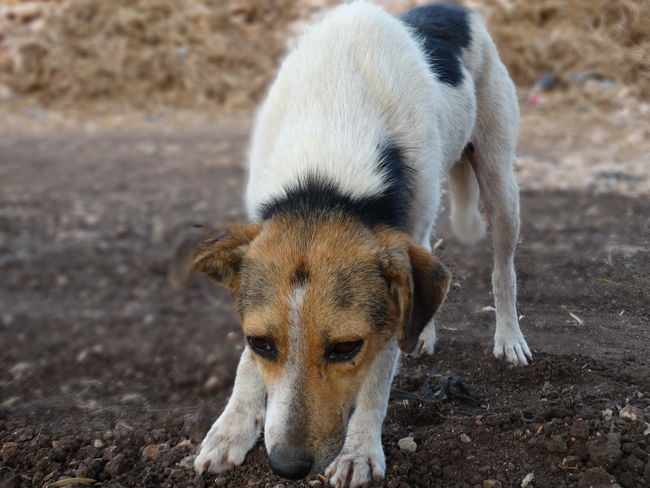 Animal Animal Hair Animal Head  Animal Nose Animal Themes Dog Domestic Animals Domestic Dog Field Focus On Foreground Front View Looking Mammal Messy No People One Animal Outdoors Pets Snout Stray Dog Zoology