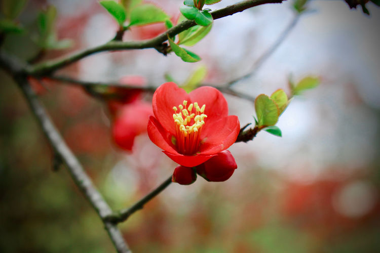 Beauty In Nature Branch Chaenomeles Japonica Close-up Day Flower Flower Head Flowering Plant Focus On Foreground Fragility Freshness Growth Inflorescence Nature No People Outdoors Petal Plant Red Selective Focus Spring Spring Flowers Springtime Vulnerability