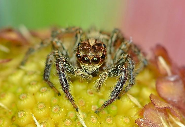 The smiling face spider Week On Eyeem Funny Faces Macro_collection Arachnid Jumping Spider Macro Beauty Funny Animals Funny Faces Smiling Face Spider Animals In The Wild Animal Themes Animal Wildlife One Animal Jumping Spider Close-up Day Nature No People