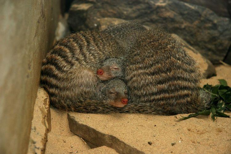 sleeping beauty NYC New York Animal Park Sleeping Animal No People One Animal Animal Themes Land Animals In The Wild Animal Wildlife Close-up Relaxation Focus On Foreground Sand
