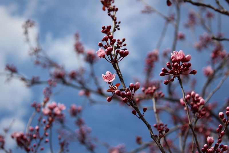 Flower Tree Fragility Beauty In Nature Nature Blossom Springtime Twig Day Focus On Foreground Outdoors Close-up Plum Blossom Freshness Petal Flower Head Low Angle View Pink Color Break The Mold EyeEmNewHere The Great Outdoors - 2017 EyeEm Awards BYOPaper! Live For The Story