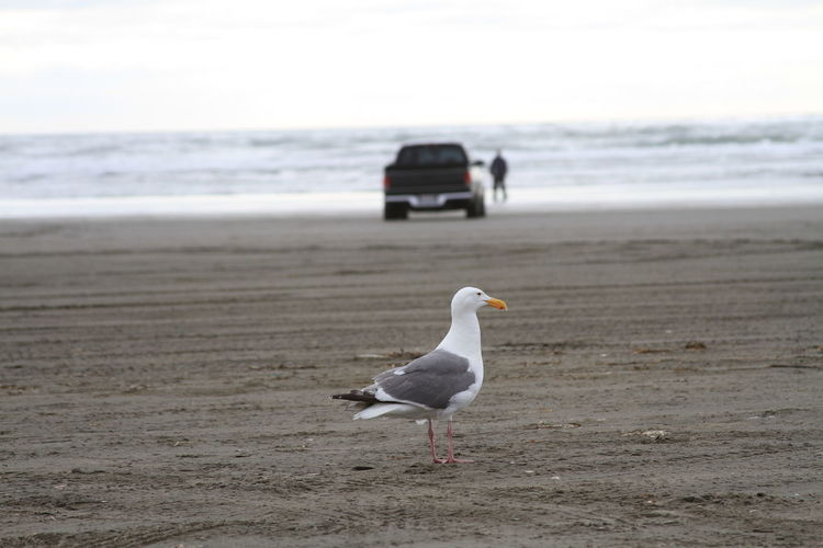 Seagull At Beach By Pick-Up Truck Against Sky