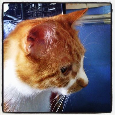 I'm fascinated by our cat, he sits, studies, thinks about pouncing, then sleeps Hobbes Cat Ginger Portraitcat