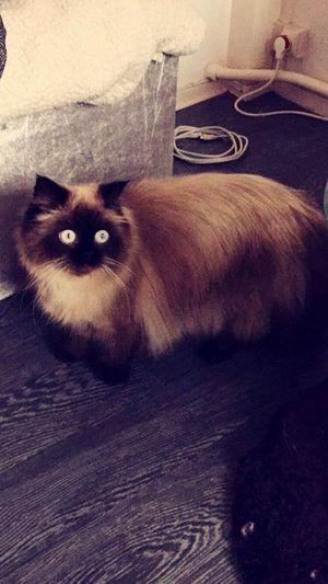 Ma pralinoute Persian Cat Baby Cute Cats Love