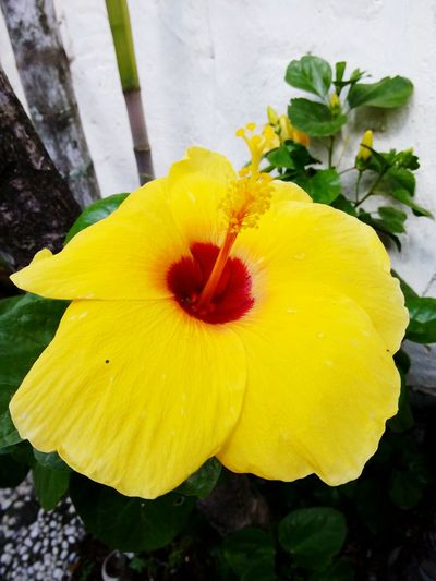 Gumamela Flower Yellowflower💛 Yellowgumamela Bigflower EyeEm Nature Lover Nature Photography Beautiful Enjoying Life