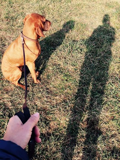 Adapted To The City Dog Dog Love Doglife Doglover Domestic Animals Hungarian Vizsla Leisure Activity Lifestyles My Point Of View Nana's Life Nature Outdoors Pets Play With The Light Real People See The World Through My Eyes See What I See Shadow Togetherness Vizsla Vizsla Life Walk Walking With My Dog