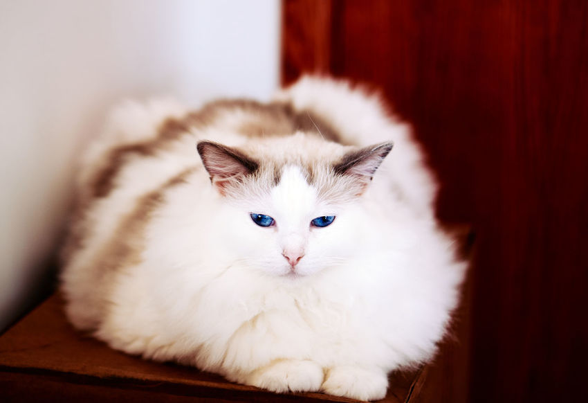 Leave at the door Horizontal Indoors  Mammal Feline Cat Domestic Cat House Cat Pet Animal One Animal Looking At Camera White Color Blue Eyes Ragdoll Cat Purebred Cat Boxes Door Doorway Cats Love Boxes Leave At The Door