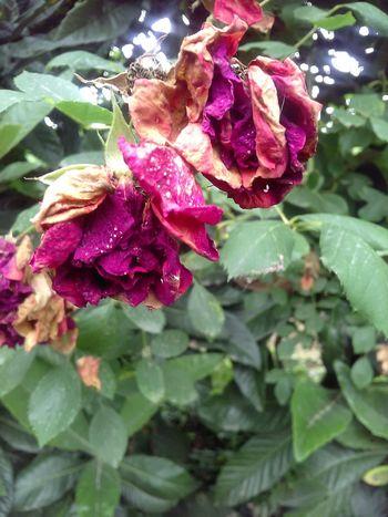 Good Morning world 🌹🌹🌹 Flower Head Flower Leaf Petal Red Wet Drop Rose - Flower Close-up Plant