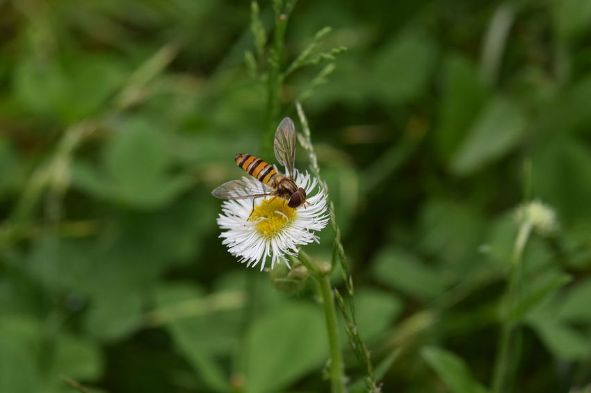 Bug Erigeron Philadelphicus Flower Gadfly Green Color Nature No People Outdoors