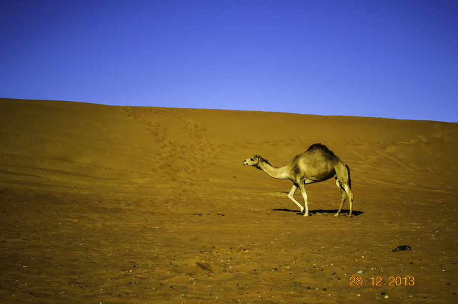 A camel walking through the desert in Oman. Camel Walking In Sand Oman Oman Desert Animal Animal Themes Animal Wildlife Animals In The Wild Arid Climate Blue Camel In Oman Clear Sky Day Desert Full Length Landscape Mammal Nature No People One Animal Outdoors Sand Sand Dune Scenics Sky Travel Destinations