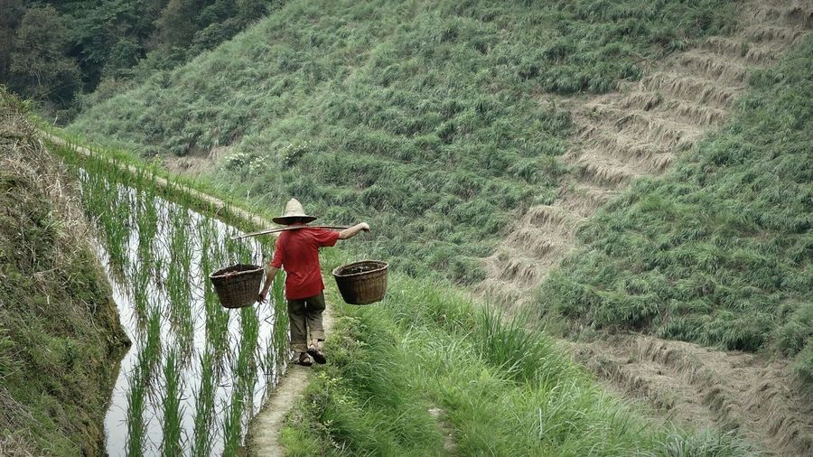 Rear View Of Man Holding Baskets While Walking On Rice Paddy