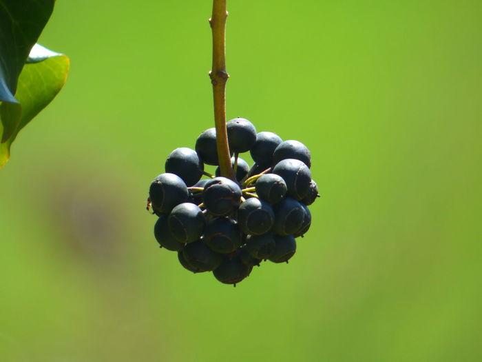 Fruit Mûres Nature Noir Suspendue Vert