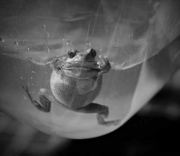 Oi come here ! Water_collection Black And White Frogs_collection Animal_collection Swimming Focus On Foreground Animal Eye Marine Underwater Selective Focus Nature Transparent Water No People Vertebrate Rescued Frog Animal Wildlife Close-up Frog Amphibian Animal Themes Animal One Animal Tree Frog Come Here