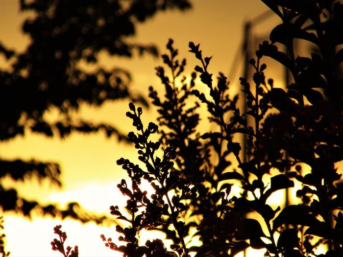 No People Outdoors Growth Nature Plant Lagerstroemia Crape-myrtle Sunlight Sky Tree Sunset Orange Color Leaf Branch Silhouette