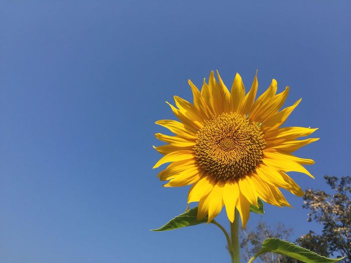 Low Angle View Of Sunflower Against Clear Blue Sky