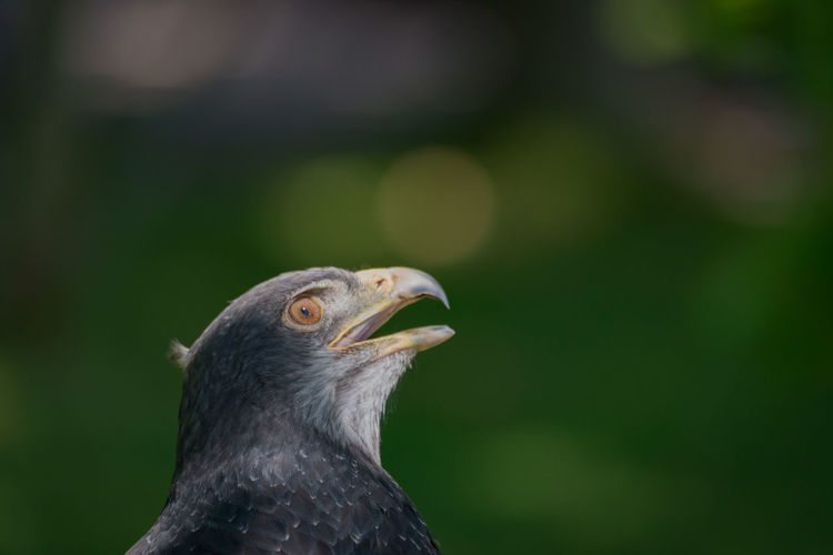 Animal Themes Animal Wildlife Animals In The Wild Beak Beauty In Nature Bird Bird Of Prey Black-chested Buzzard-eagle Buzzard  Close-up Day Eagle Focus On Foreground Nature No People One Animal Outdoors Predator Raptor