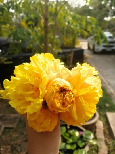 Yellow Silk Cotton Flower Flower Buds Plant Yellow Yellow Silk Cotton Tree Yellow Silk Cotton Flower Yellow Outdoors Freshness Fragility Petal Flower Head Day Focus On Foreground Nature Beauty In Nature Close-up Plant No People