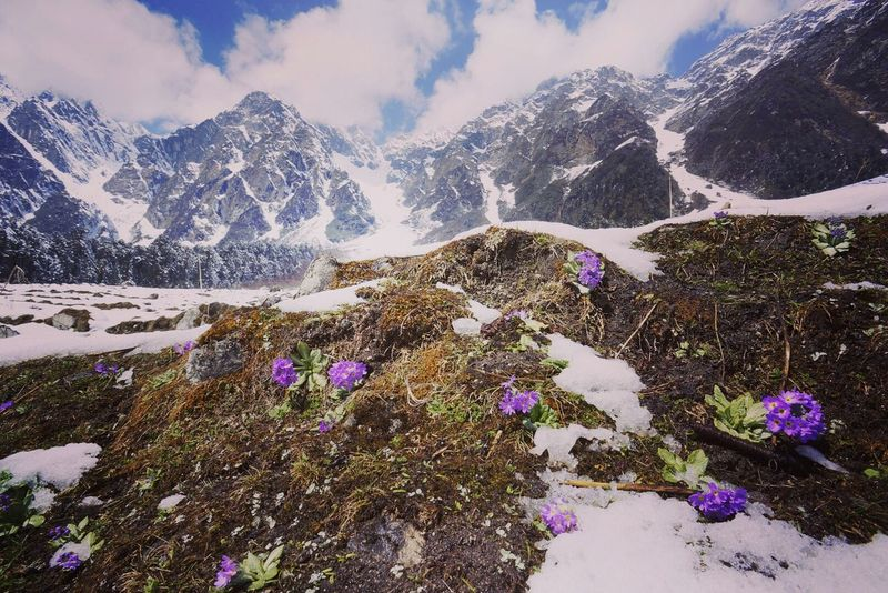 Snow Mountain Beauty In Nature Yumthang Valley Primulas Winter Sikkim India