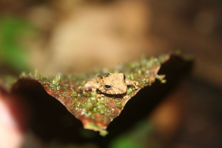 Treefrog Hidden Camouflage Defenseless Leaf Cute Tiny Frog Amphibian Animals In The Wild Animal Wildlife One Animal Animal Themes Close-up Nature Focus On Foreground Selective Focus Outdoors