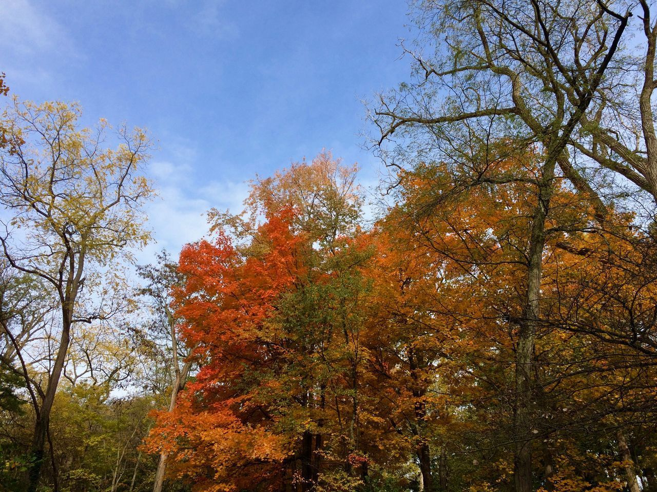 tree, autumn, change, plant, sky, beauty in nature, low angle view, growth, nature, orange color, tranquility, no people, branch, day, scenics - nature, outdoors, tranquil scene, non-urban scene, tree trunk, trunk, fall, tree canopy, natural condition
