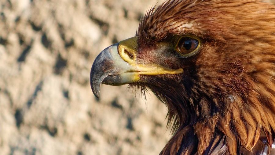 Close-Up Of Golden Eagle Against Rock