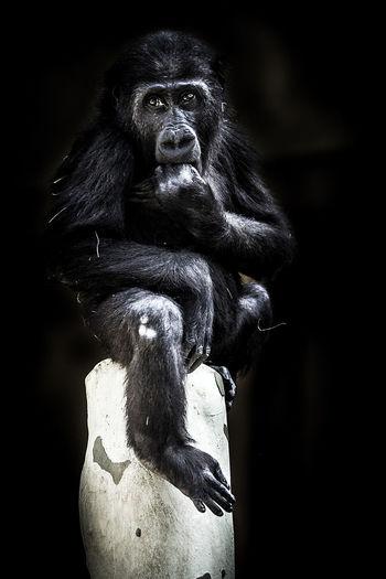 Gorilla sitting on rock at zoo