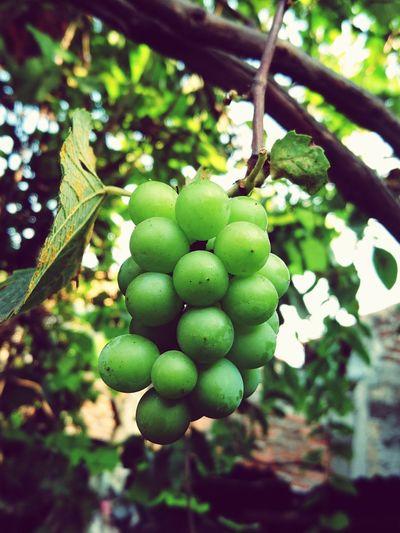 grape Tree