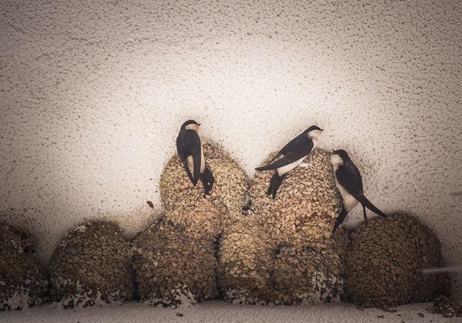 y regresaron las oscuras golondrinas Birds Birds_collection Day Golondrinas Linares Nature No People Outdoors