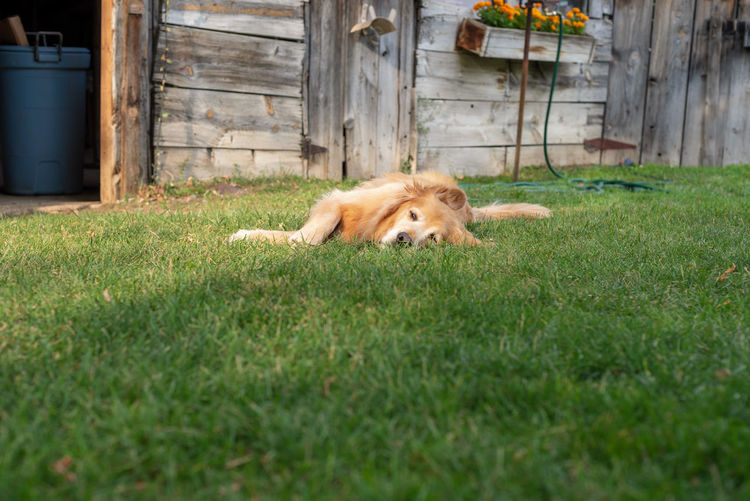 View of a dog relaxing on field