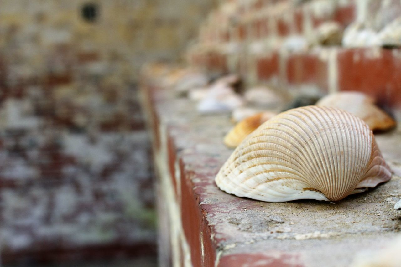 animal shell, close-up, seashell, day, nature, one animal, no people, animal themes, outdoors, animals in the wild, fragility