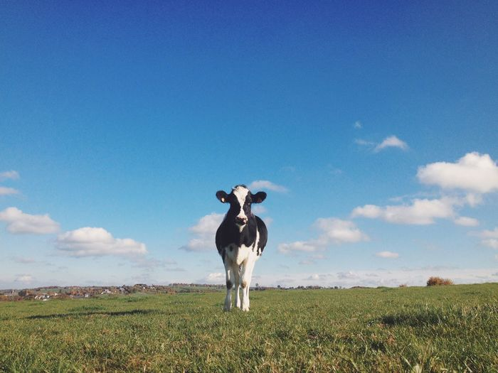 Cow standing on grassy field against blue sky