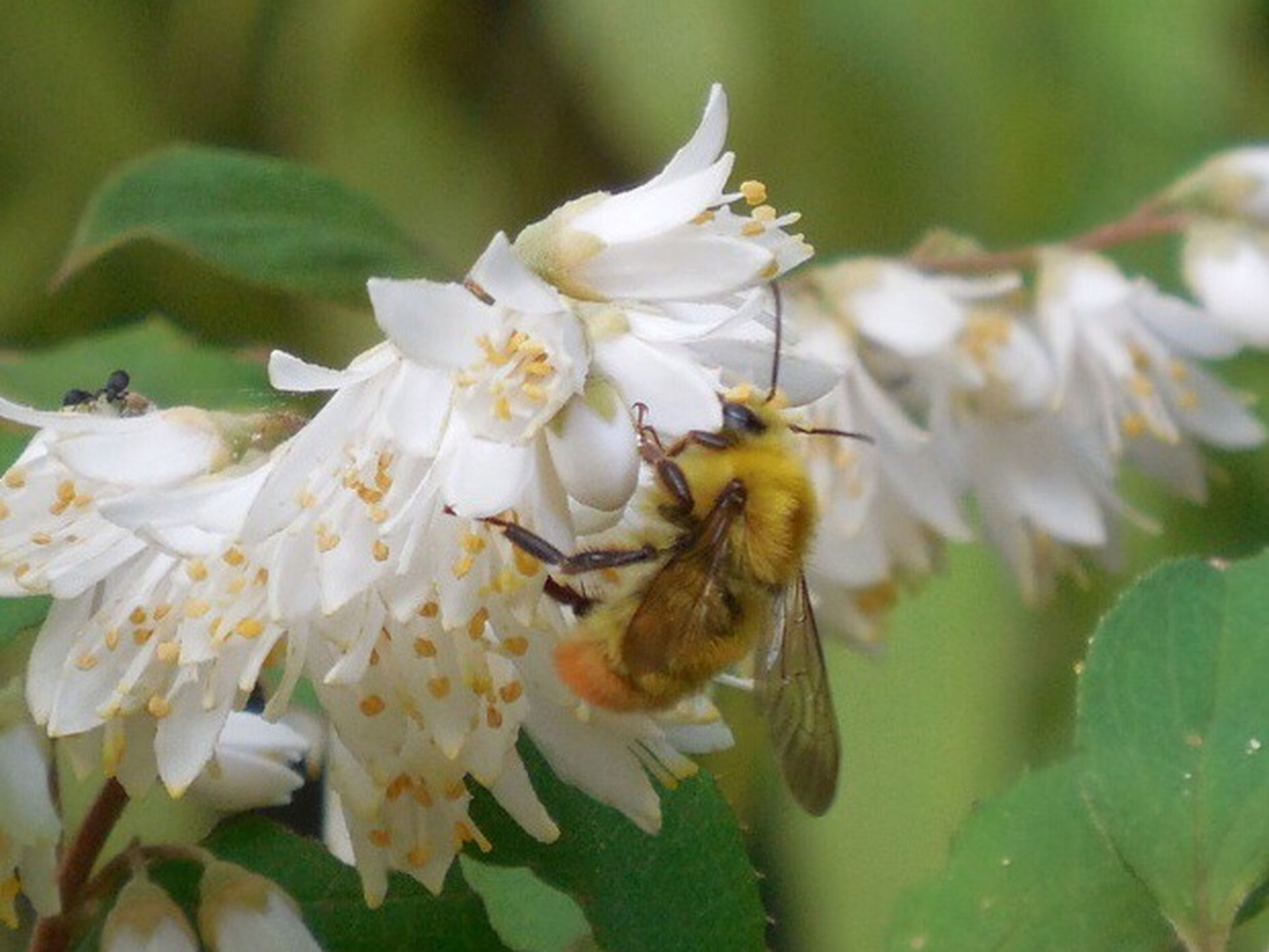 animal themes, animals in the wild, flower, wildlife, one animal, insect, white color, bee, freshness, pollination, growth, nature, fragility, petal, beauty in nature, close-up, focus on foreground, honey bee, selective focus, outdoors
