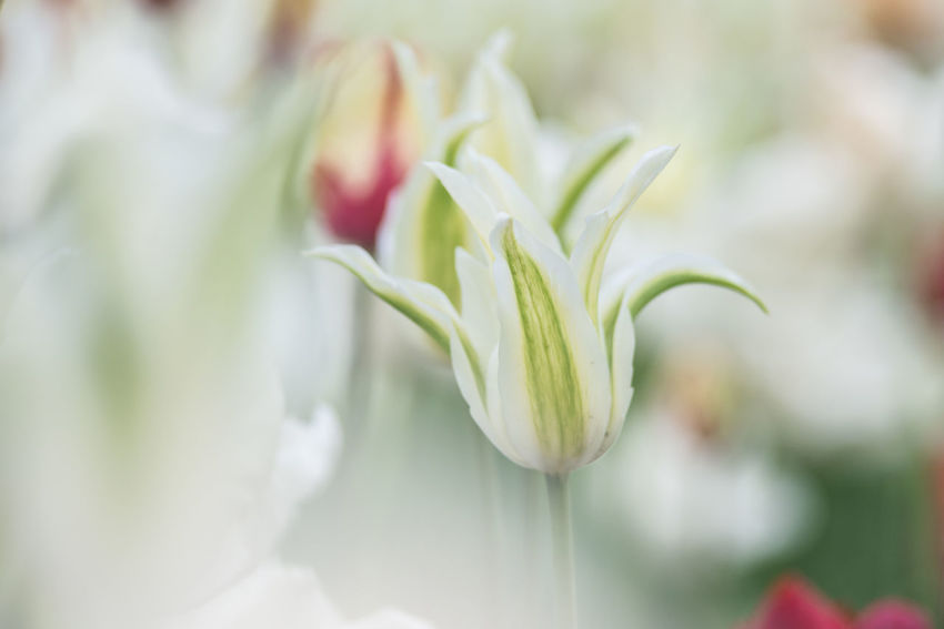 Abundance Of Flowers Beauty In Nature Close-up Day Flower Flower Head Focus On Foreground Fragility Freshness Green Color Growth Nature No People Outdoors Petal Plant Spring Spring Flowers Springtime Tulip White