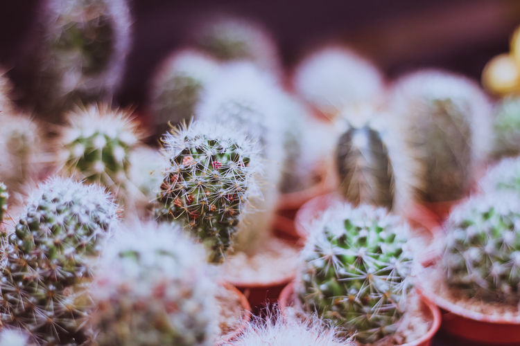 Berlin Plant Barrel Cactus Beauty In Nature Botanical Botany Cactus Close-up Day Flower Focus On Foreground Freshness Green Color Growth Nature No People Outdoors Plant Potted Plant Selective Focus Sharp Spiked Spiky Succulent Plant Thorn